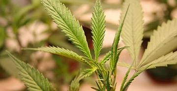 Uk: marijuana al posto delle slot in una ex sala bingo